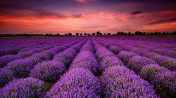 Briony Barton Therapy | lavender field